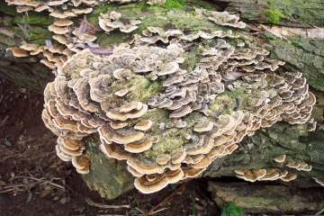 Trametes versicoloor Copyright: Graham Smith