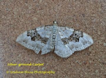 Silver-ground Carpet  Xanthorhoe montanata Copyright: Graham Ekins