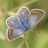 Common Blue (female) Copyright: Robert Smith