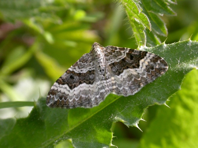 Common Carpet - Epirrhoe alternata Copyright: Malcolm Riddler