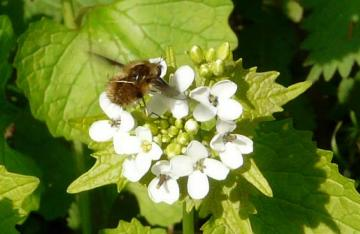 Bombylius major flight1 Copyright: Alan Shearman