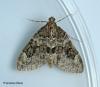 Thera britannica Spruce Carpet Copyright: Graham Ekins