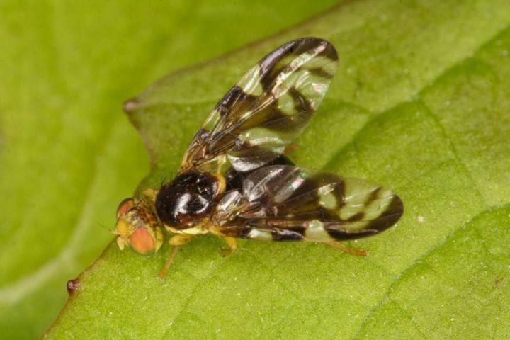 Euleia heraclei fly Copyright: Peter Harvey