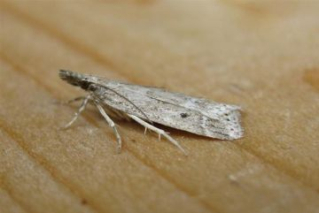 Eudonia pallida. Copyright: Stephen Rolls