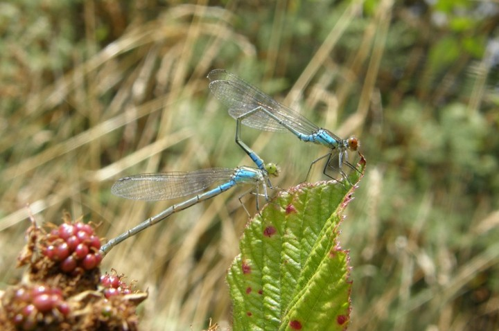 Small red-eyed damselflies Copyright: Sue Grayston