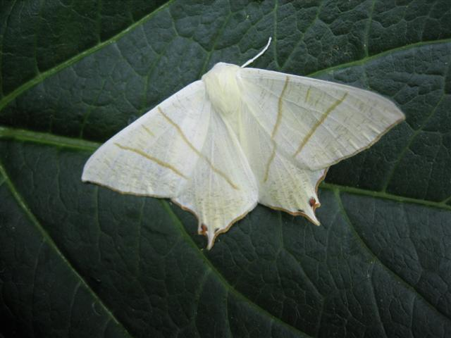 Swallow-Tailed Moth. Copyright: Stephen Rolls