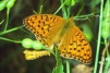 Argynnis adippe-2 Copyright: Peter Harvey