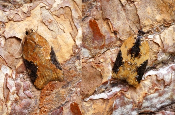 Acleris comariana - (Right) Copyright: Ben Sale