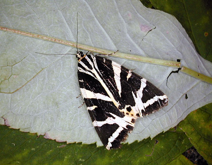 Jersey tiger at rest Copyright: Robin Barfoot