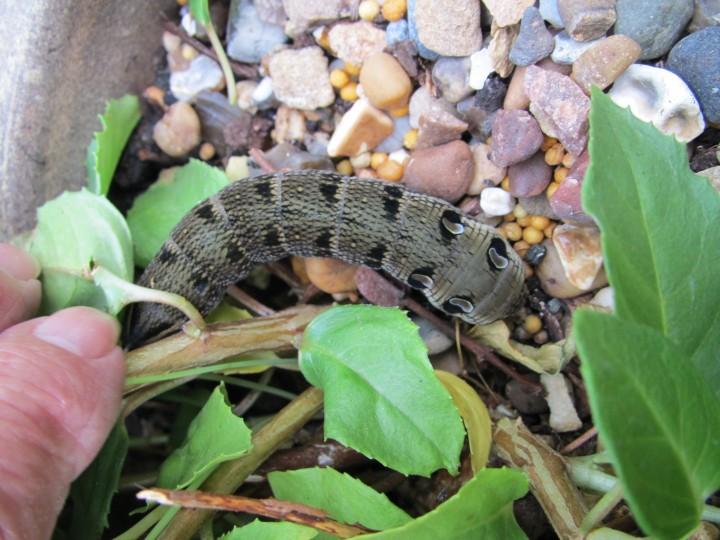 Elephant hawk  larva Copyright: Kim Prowse