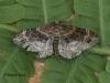 Xanthorhoe spadicearia 1 Copyright: Graham Ekins