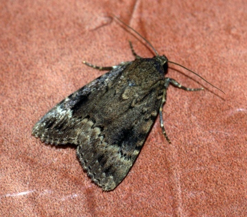 Copper Underwing agg. Copyright: Ben Sale