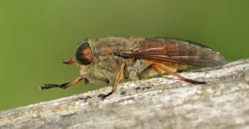 Level's yellow horned horsefly Copyright: Yvonne Couch