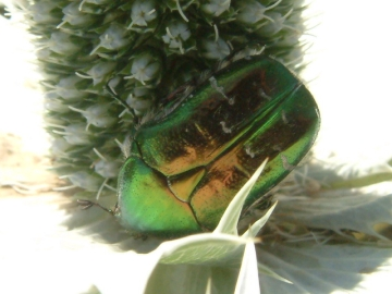Rose chafer on eryngium Copyright: Maria Fremlin