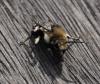 Melecta albifrons in oxfordshire Copyright: Sue Nodder