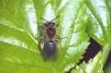Andrena bicolor Copyright: Peter Harvey