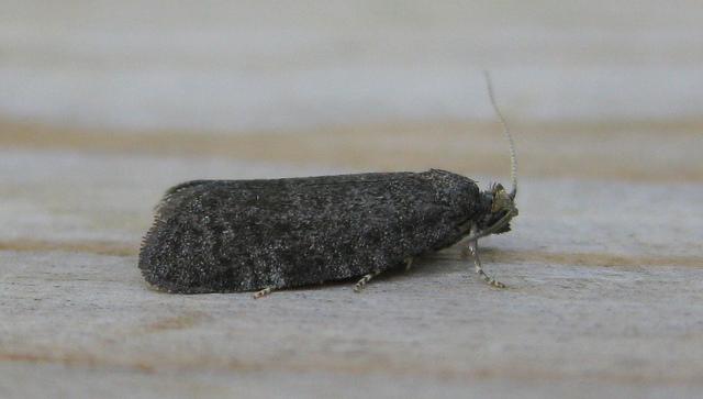 Neosphaleroptera nubilana Copyright: Stephen Rolls