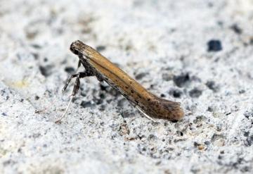 Aspilapteryx tringipennella 3 Copyright: Ben Sale