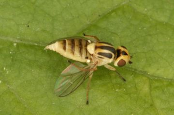 Chlorops pumilionis Copyright: Peter Harvey