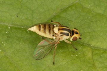 Chlorops pumilionis Copyright: Peter Harvey