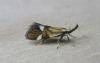 Alabonia geoffrella. Copyright: Stephen Rolls
