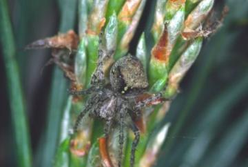 Araneus sturmi Copyright: Peter Harvey
