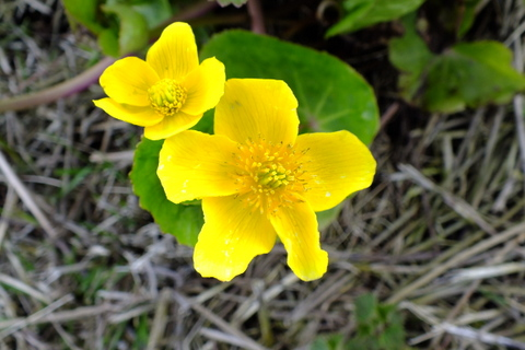 Marsh Marigold Caltha palustris Copyright: Peter Pearson