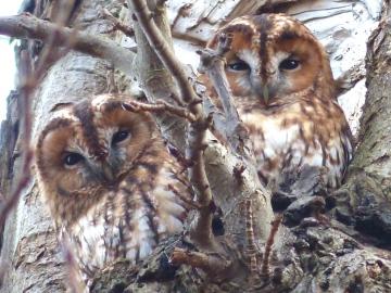 Tawny Owl Copyright: Jeff Martin