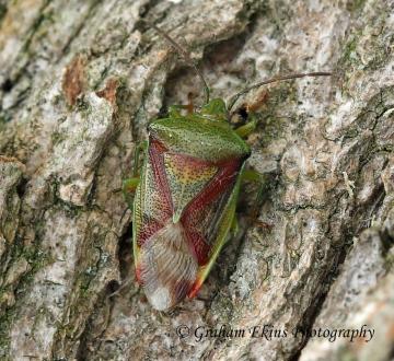 Elasmostethus interstinctus  (Birch Shieldbug) Copyright: Graham Ekins