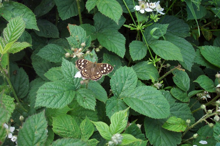 Speckled Wood 2 Copyright: Graham Smith