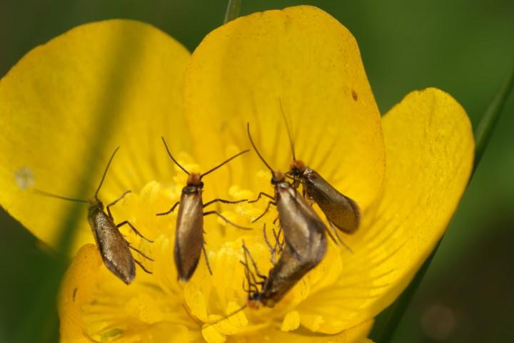 Micropterix calthella on buttercup Copyright: Ben Sale