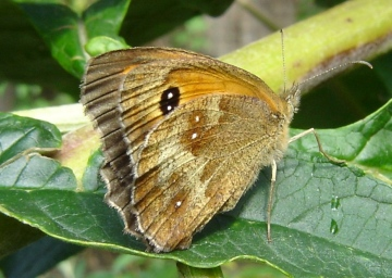 Gatekeeper butterfly Copyright: Sue Grayston
