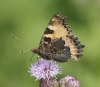Small Tortoiseshell (underside) Copyright: Robert Smith