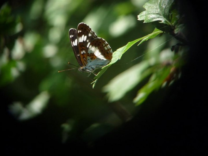 White Admiral Butterfly Copyright: Colin Shields