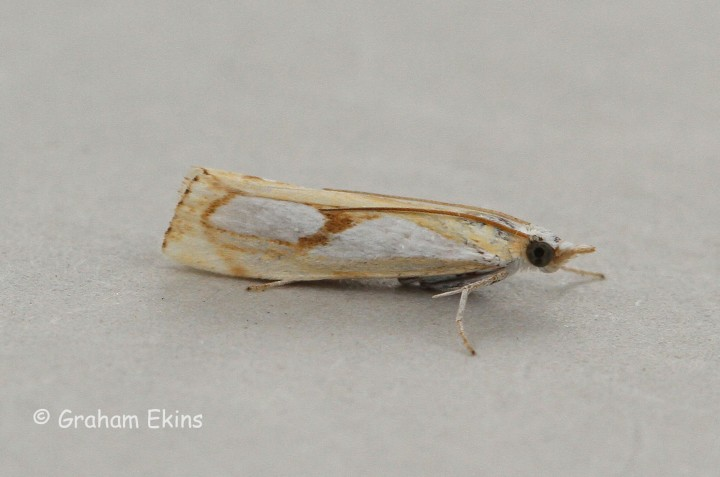 Catoptria pinella 5 Copyright: Graham Ekins