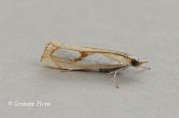 Catoptria pinella 5 Copyright: Graham Ekins