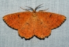 Orange Moth 2 Copyright: Ben Sale