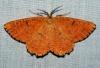 Orange Moth 2 Copyright: Ben Sale