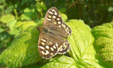 Speckled Wood1 Copyright: Alan Shearman