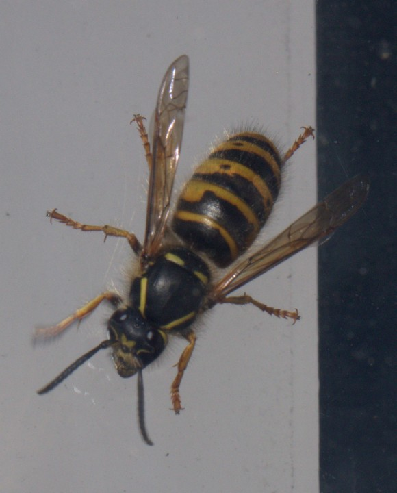 Dolichovespula saxonica (Commonly known as the Saxon Wasp) Copyright: Colin Brodie