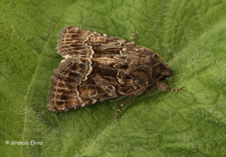 Thalpophila matura  Straw Underwing 1 Copyright: Graham Ekins