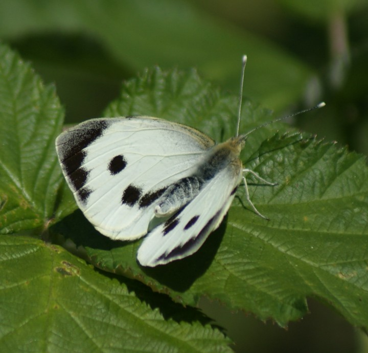 Large White (female upperside) Copyright: Robert Smith