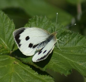 Large White (female upperside) Copyright: Robert Smith