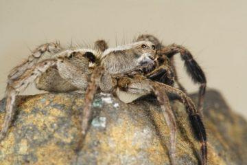Alopecosa barbipes male Copyright: Peter Harvey