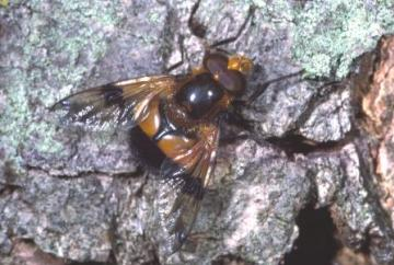 Volucella inflata Copyright: Peter Harvey