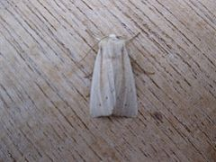 Southern Wainscot. Copyright: Stephen Rolls
