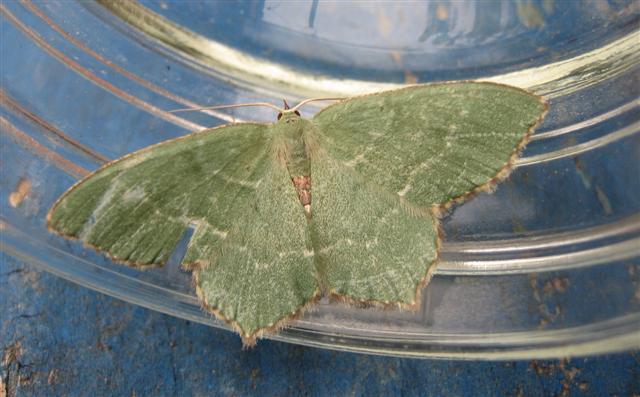 Common Emerald. Copyright: Stephen Rolls