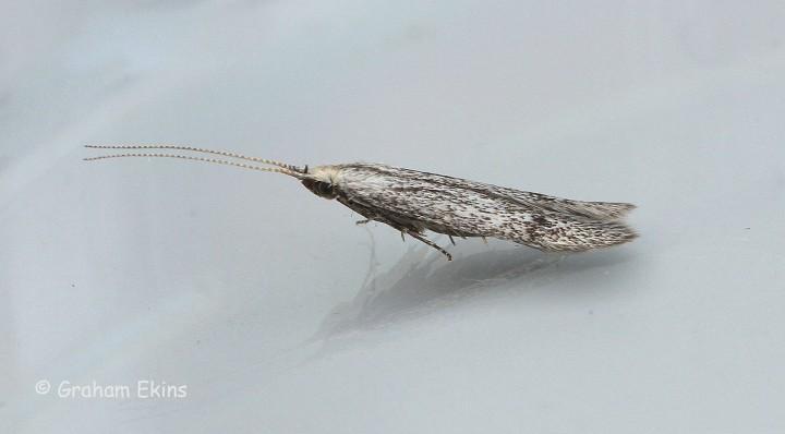 Coleophora hemerobiella 3 Copyright: Graham Ekins