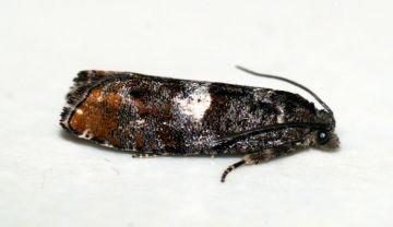 Epinotia rubiginosana Copyright: Ben Sale