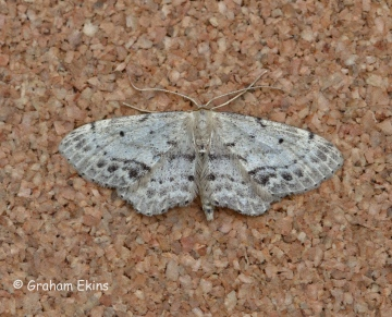 Single Dotted Wave  Idaea dimidiata Copyright: Graham Ekins